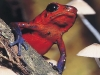 red_frog
